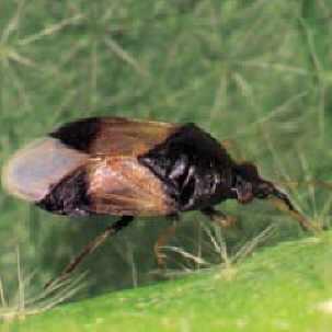Raubwanzen, auch Orius gegen Tripse und andere Schädlinge. Es sollte ...